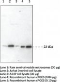 Prostaglandin E Synthase (cytosolic) Polyclonal Antibody
