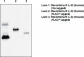 Interleukin-<wbr/>33 Monoclonal Antibody (Clone IL333068A)