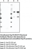 Citrullinated Hsp70 (R357) Polyclonal Antibody