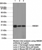 HMGB1 Monoclonal Antibody (Clone IMG19N12A1)