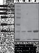 JMJD2E Strep-<wbr/>tagged (human, recombinant)
