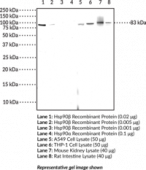 Hsp90β Monoclonal Antibody (Clone 8D6)