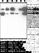 Nrf2 (N-<wbr/>Term) Polyclonal Antibody