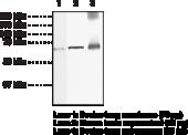 Guanylate Cyclase β1 subunit (soluble) Polyclonal Antibody