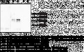 Histone H1.4 (Citrul<wbr/>linated R53) Polyclonal Antibody