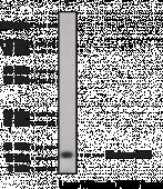 Histone H2B (C-<wbr/>Term) Polyclonal Antibody