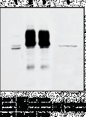RICK Polyclonal Antibody