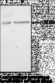 iPLA<sub>2</sub> (Type VI) Polyclonal Antibody