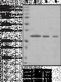 WDR5 (human, recombinant)