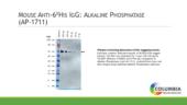 Mouse Anti-<wbr/>6HIS IgG:Alkaline Phosphatase