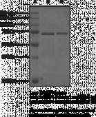 BRD4 bromodomains 1 and 2 (human, recombinant; aa 49-460)