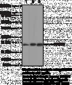 HMGB1 Monoclonal Antibody (Clone IMG19N15F4)