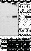 Adenosine Receptor A<sub>2A</sub> Monoclonal Antibody (Clone 7FG-<wbr/>G<sub>5</sub>-<wbr/>A2)