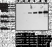 Nitrotyrosine Polyclonal Antibody