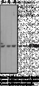 Caspase-<wbr/>3 Monoclonal Antibody (Clone 31A1067)