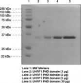 UHRF1 PHD domain (human recombinant)