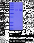 COX-2 (ovine, recombinant)