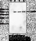 Citrullinated α-Enolase Polyclonal Antibody