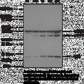 Caspase-<wbr/>8 Monoclonal Antibody (Clone 90A992)