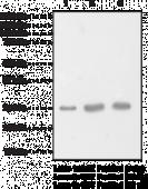 Glutathione S-<wbr/>Transferase Polyclonal Antibody