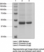 Prorenin (human, recombinant)