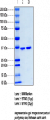STING H232 variant; SUMO-tagged (human recombinant)