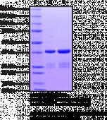 BRD7 bromodomain (human recombinant)