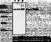 iNOS Polyclonal Antibody