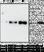 PAD4 Monoclonal Antibody (Clone 11F9)