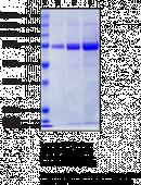 COX-<wbr/>2 (human, recombinant)