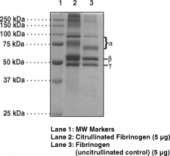 Human Fibrinogen (PAD4 Citru<wbr/>llinated)