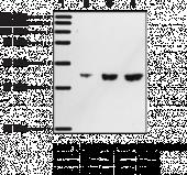 DP<sub>1</sub> Receptor Polyclonal Antibody