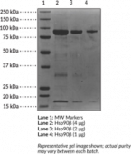 Hsp90β (human recombinant)