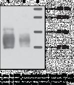 S1P<sub>3</sub> Polyclonal Antibody