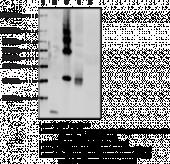 Irisin Polyclonal Antibody