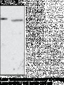 FTO (mouse) Monoclonal Antibody (Clone FT 62-6)
