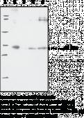 Prostaglandin E Synthase-<wbr/>2 (microsomal) Polyclonal Antibody