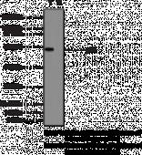 NF-<wbr/>κB (p65) Monoclonal Antibody-<wbr/>biotin (Clone 112A1021)