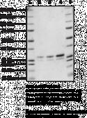 STING R224 variant (human, recombinant)