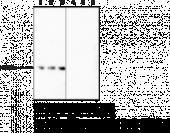 Histone H3 (Citrullinated R2 + R8 + R17) Monoclonal Antibody