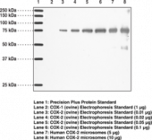 COX-<wbr/>2 Monoclonal Antibody (Clone CX229)