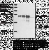 Leukotriene A<sub>4</sub> Hydrolase Polyclonal Antibody