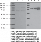 5-<wbr/>Lipoxygenase Polyclonal Antibody