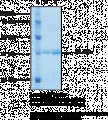 BRD2 bromodomain 1 (human, recombinant)