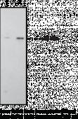 CB<sub>1</sub> Receptor Polyclonal Antibody