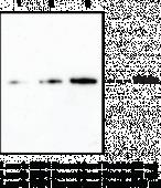 PAD4 Monoclonal Antibody (Clone 6D8)
