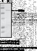 PPARγ FL (human recombinant from <em>E. coli</em>)