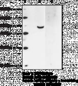 FFAR4 (GPR120) (N-Term) Polyclonal Antibody