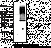 GPR99 (C-Term) Polyclonal Antibody