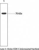 COX-<wbr/>1 Monoclonal Antibody (Clone CX111)
